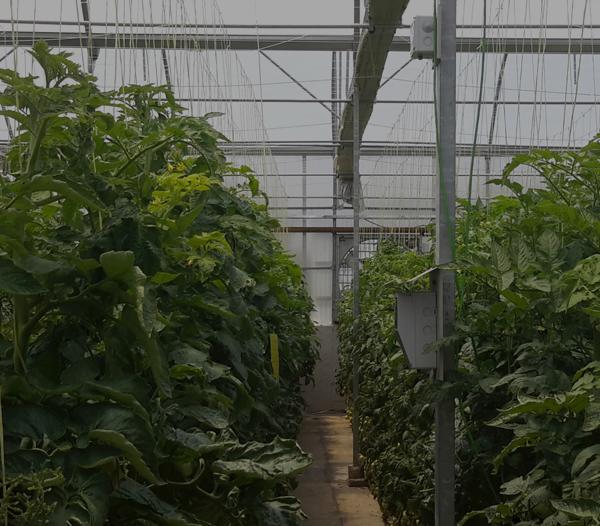 چرا هوشمندسازی برای گلخانه ها ضروری است؟